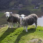 Sheep on a Lake District Fell